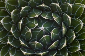 Ingo Arndt - Queen Victoria's Agave, Saguaro National Park, Arizona