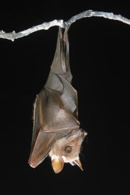 Ingo Arndt - Buettikofer's Epauletted Bat hanging upside down from roost