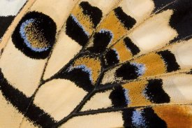 Ingo Arndt - Common Lime butterfly wing detail showing false eyespot, Asia