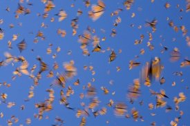 Ingo Arndt - Monarch butterflies flying during a warm day, Michoacan, Mexico