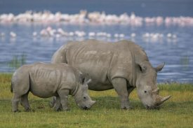 Ingo Arndt - White Rhinoceros mother and juvenile grazing, Lake Nakuru, Kenya