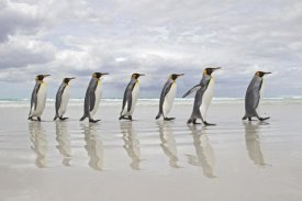 Ingo Arndt - King Penguin group walking on beach, Volunteer Point, Falkland Islands