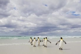 Ingo Arndt - King Penguin group returning from sea, Volunteer Point, Falkland Islands