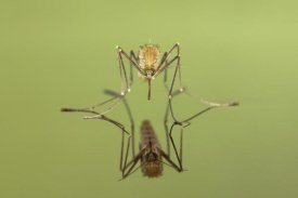 Ingo Arndt - Mosquito freshly hatched sitting on water surface with reflection, Germany