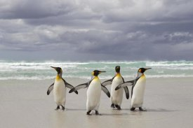 Ingo Arndt - King Penguin group returning from the sea, Volunteer Point, Falkland Islands