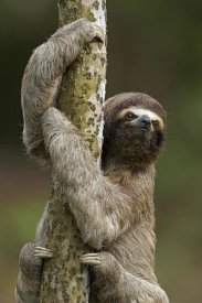 Ingo Arndt - Brown-throated Three-toed Sloth climbing up a tree trunk, Amazon ecosystem, Peru