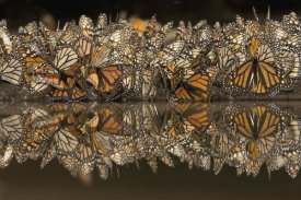 Ingo Arndt - Monarch butterflies gathering to drink water and take up minerals, Michoacan, Mexico