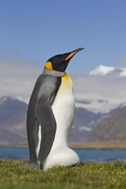 Ingo Arndt - King Penguin incubating egg balanced on its feet, King Edward Point, South Georgia Island