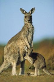 Ingo Arndt - Eastern Grey Kangaroo joey reaching into mother's pouch, Wilson's Promontory National Park, Australia
