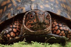 Niall Benvie - Eastern Box Turtle head portrait, USA