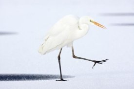 Henny Brandsma - Great White Egret walking across the ice, Netherlands