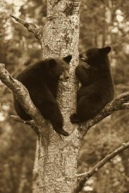 Matthias Breiter - Black Bear two cubs in tree, Orr, Minnesota