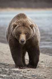 Matthias Breiter - Grizzly Bear, Katmai National Park, Alaska