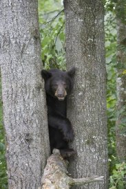 Matthias Breiter - Black Bear juvenile male in tree, Orr, Minnesota