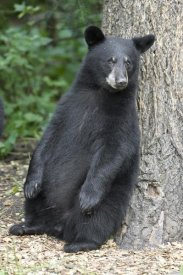 Matthias Breiter - Black Bear cub leaning against tree, Orr, Minnesota