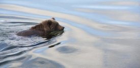 Matthias Breiter - Grizzly Bear swimming, Katmai National Park, Alaska