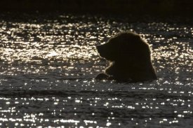Matthias Breiter - Grizzly Bear in water, Katmai National Park, Alaska