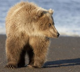 Matthias Breiter - Grizzly Bear yearling, Katmai National Park, Alaska