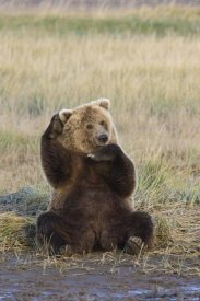 Matthias Breiter - Grizzly Bear scratching ear, Katmai National Park, Alaska