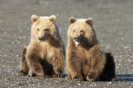 Matthias Breiter - Grizzly Bear cubs, one yawning, Katmai National Park, Alaska