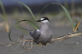 Matthias Breiter - Aleutian Tern on ground nest with single egg, Yakutat, Alaska