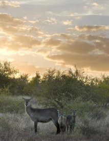 Matthias Breiter - Waterbuck mother and calf, Kruger National Park, South Africa