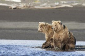 Matthias Breiter - Grizzly Bear yearlings on shore, Katmai National Park, Alaska