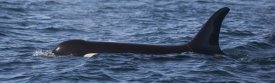 Matthias Breiter - Orca surfacing showing dorsal fin in Queen Charlotte Sound, Canada