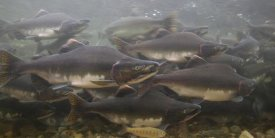 Matthias Breiter - Pink Salmon swimming during migration, Indian River, Sitka, Alaska