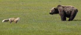 Matthias Breiter - Red Fox and Grizzly Bear on sedge flats, Katmai National Park, Alaska