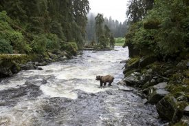 Matthias Breiter - Grizzly Bear fishing along Anan Creek, Tongass National Forest, Alaska