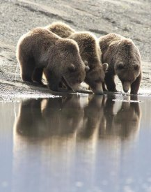 Matthias Breiter - Grizzly Bear mother and yearling cubs drinking, Katmai National Park, Alaska