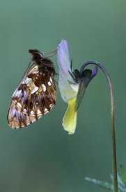 Cisca Castelijns - Weaver's Fritillary adult on Pansy Europe