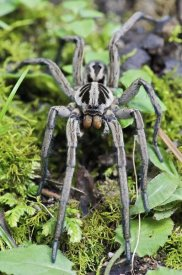 James Christensen - Wolf Spider male, Mindo, western slope of Andes, Ecuador