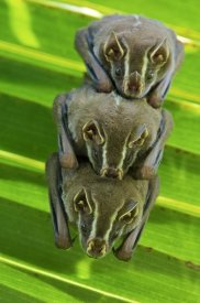 James Christensen - Striped Yellow-eared Bat trio roosting in palm tree, Panama