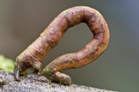 James Christensen - Looper Moth caterpillar crawling, Mindo, western slope of Andes, Ecuador