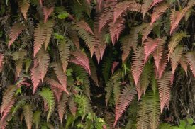 Murray Cooper - Young ferns in temperate forest, Ecuador