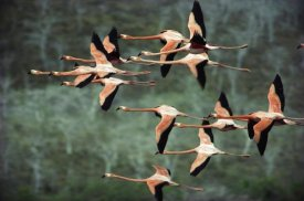 Tui De Roy - Greater Flamingo group courtship flight, Punta Cormorant, Floreana Island, Galapagos Islands, Ecuador