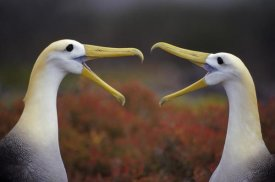 Tui De Roy - Waved Albatross courtship display, Punta Cevallos, Galapagos Islands, Ecuador