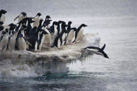 Tui De Roy - Adelie Penguin leaping into sea from ice apron, Franklin Island, Ross Sea, Antarctica