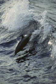 Tui De Roy - Spinner Dolphin jumping, between Panama and Cocos Island, tropical Eastern Pacific Ocean