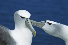 Tui De Roy - White-capped or Shy Albatross pair courting, Southwest Cape, Auckland Island, New Zealand