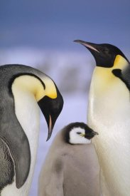 Tui De Roy - Emperor Penguin pair with chick, Atka Bay, Princess Martha Coast, Weddell Sea, Antarctica