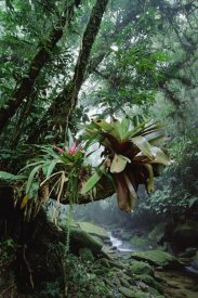 Tui De Roy - Bromeliads growing in trees along stream in Bocaina National Park, Atlantic Forest, Brazil