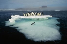 Tui De Roy - Adelie Penguin crowding on melting summer ice floe, Possession Island, Ross Sea, Antarctica