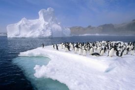 Tui De Roy - Adelie Penguin group crowding on melting summer ice floe, Possession Island, Ross Sea, Antarctica