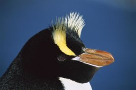 Tui De Roy - Erect-crested Penguin close-up portrait, restricted to Proclamation Island, Bounty Islands, New Zealand