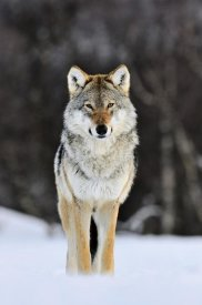 Jasper Doest - Gray Wolf standing in the snow, Norway