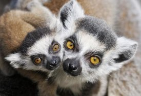 Jasper Doest - Ring-tailed Lemur, portrait of adult with young.