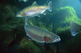 Michael Durham - Rainbow Trout pair underwater in Utah
